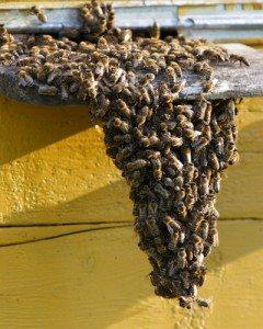Live Bee Removal Maricopa Arizona