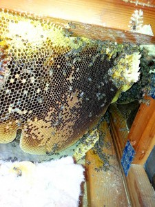 Temecula Bee Hive Removal