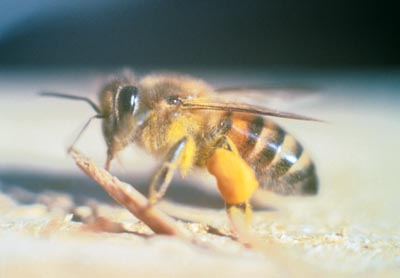 Bee removal temecula d tek live bee removal bee removal temecula solutioingenieria Images