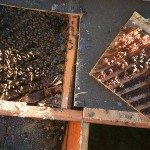 Bees in attic in Riverside County