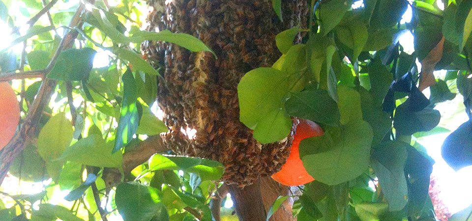 Beehive Removal Orange County