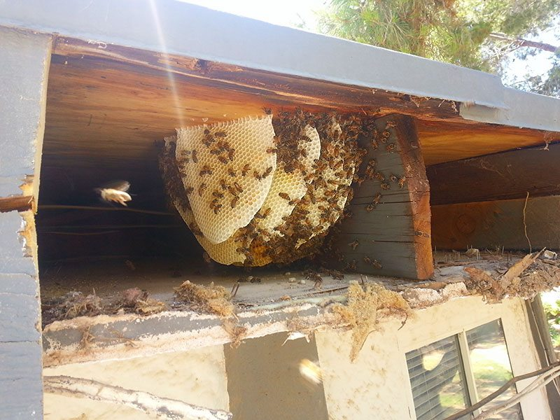 Bee Removal Services Las Vegas D Tek Live Bee Removal