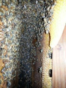 Bee Removal Oceansid CA