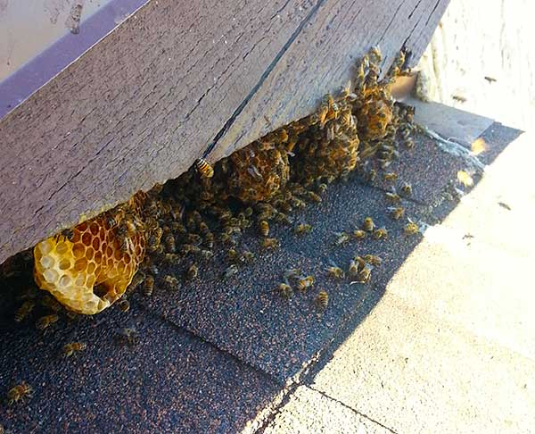 Bee Removal Del Mar