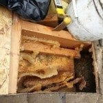 beehive removal in vista ca