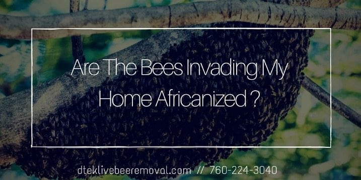 Are The Bees Invading My Home Africanized (1)