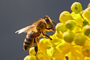 difference between bees and Africanized bees