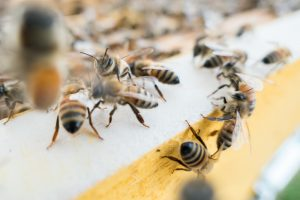 honey bee facts dtek live bee removal