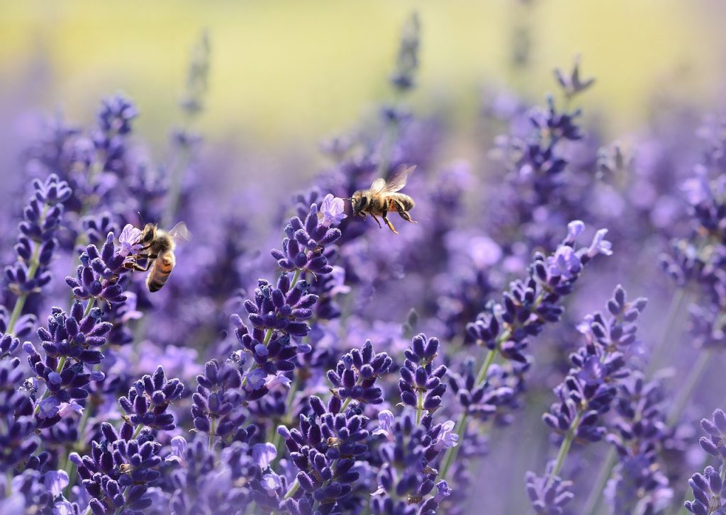 lavender-bee