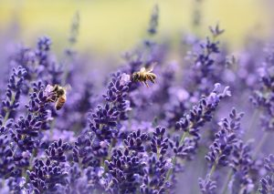 lavender-bee removal