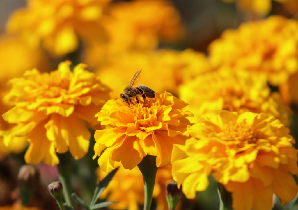 marigolds and bee