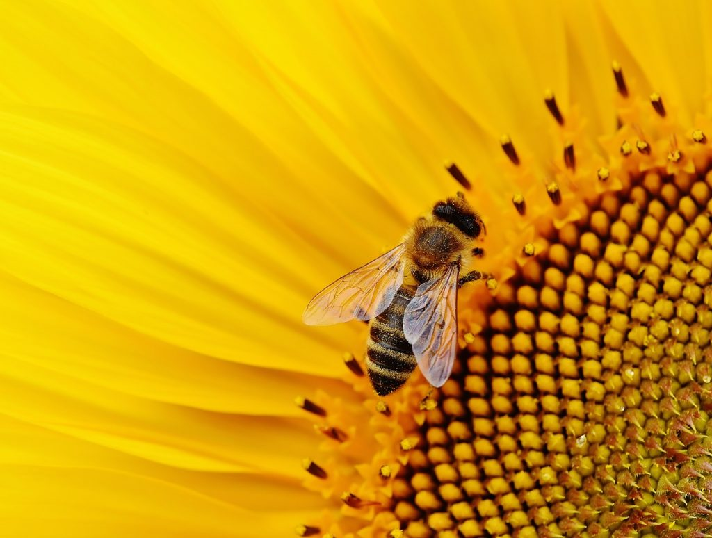 sunflower-bee