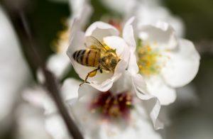 honey bee almond tree