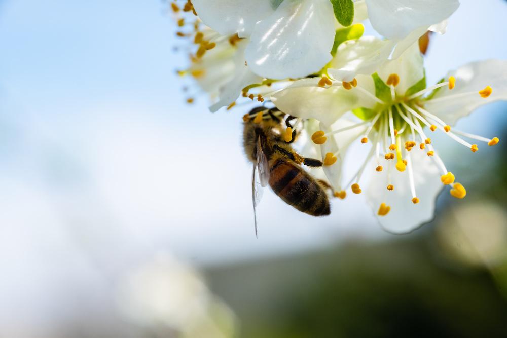 saving honeybees