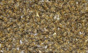 bee infestation