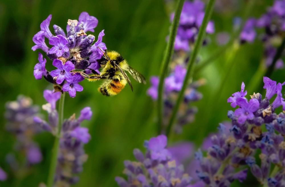 bumblebee Pollinating
