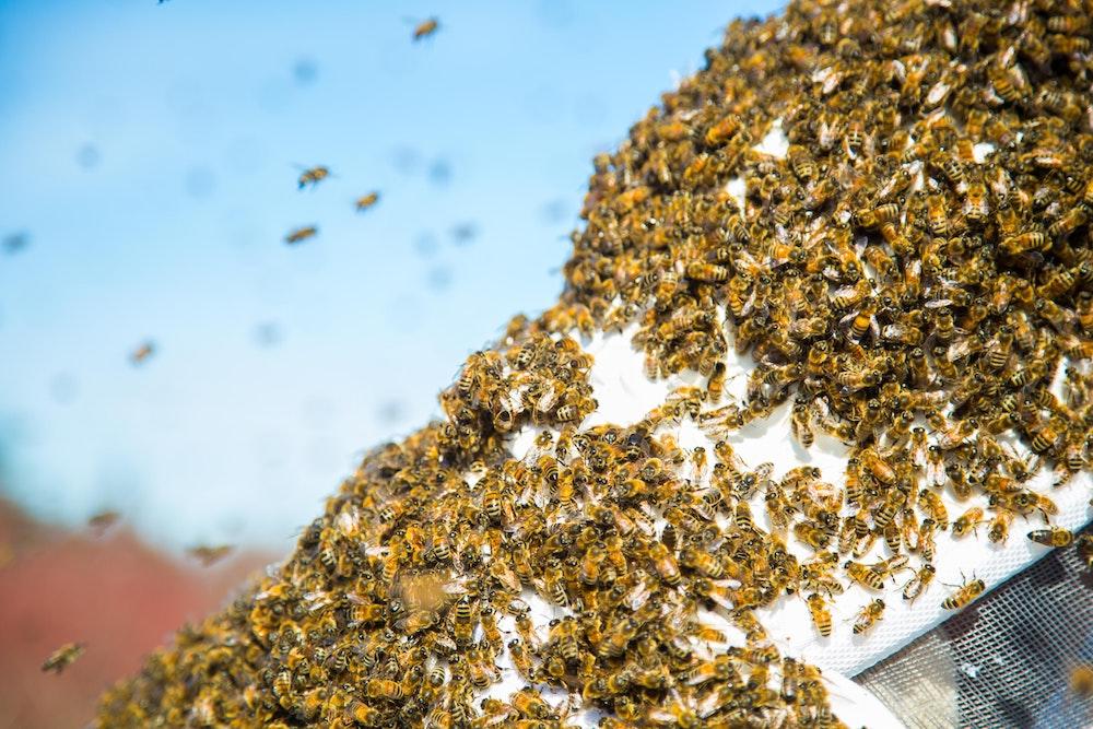 swarm honeybees