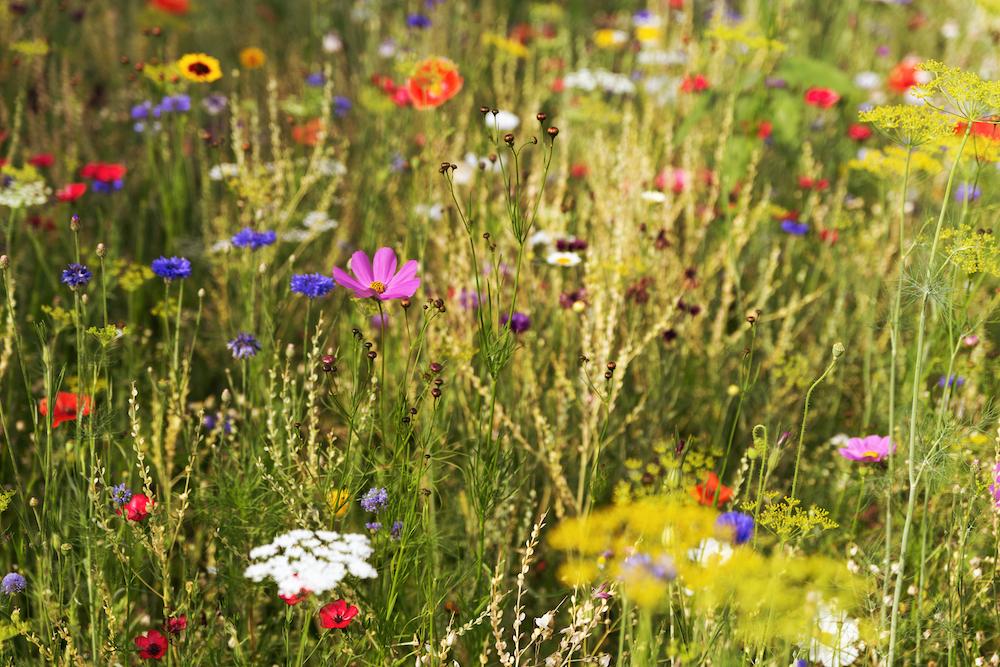 wildflowers bees