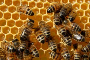 bees honeycomb