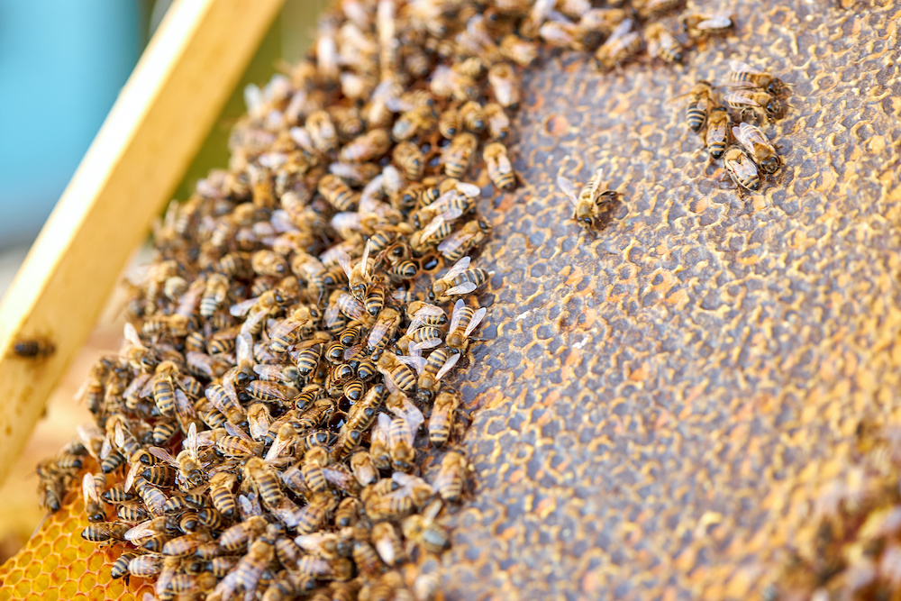 colony bees