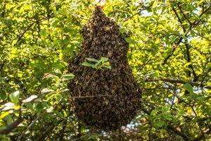bee swarming