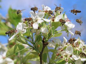 honey bee white flowers