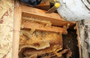 Beehive removal in Vista, CA