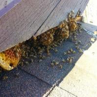 Beehive Removal Del Mar