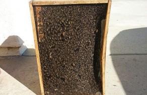 Bee removal Coronado