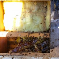 Bee Hive Removal Rancho Bernardo