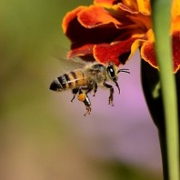 The Honeybee Conservancy