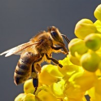 What is the difference between bees and Africanized bees?