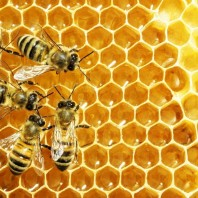 What are Honey Bees Like?